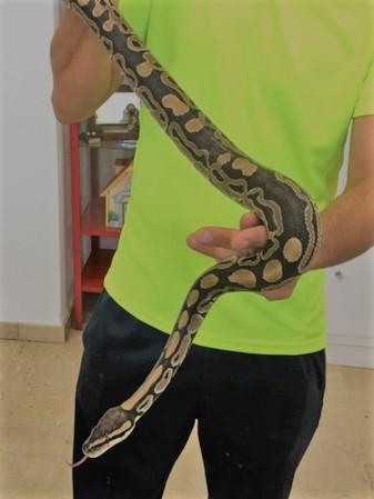 Python Regius Cuidados