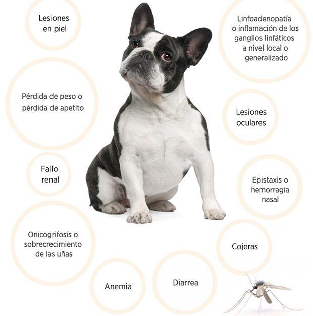 Leishmaniosis canina Jaén