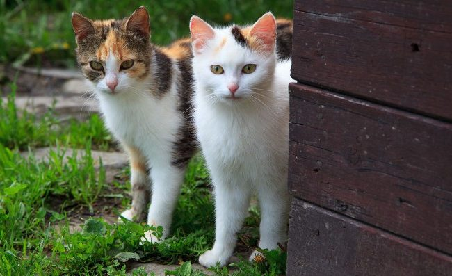 enfermedades infecciosas gatos