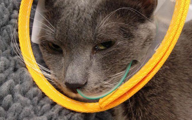 Anorexia gatos alimentación asistida