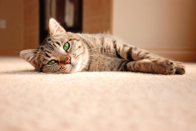 enfermedades gatos geriátricos