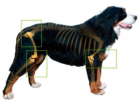 Artrosis perro geriatrico