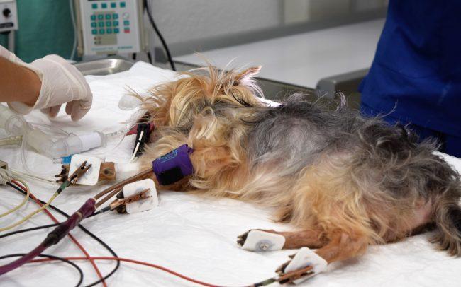 Anestesia limpieza dental perro