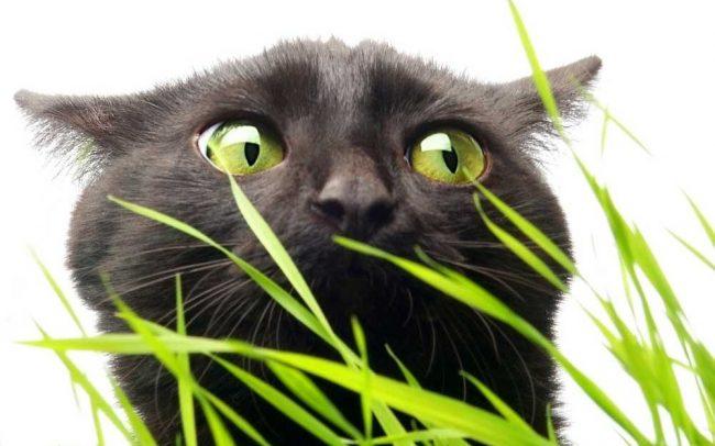 Intoxicación gatos