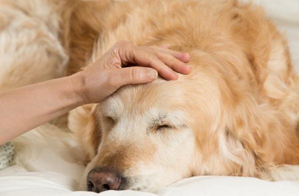Epilepsia perros