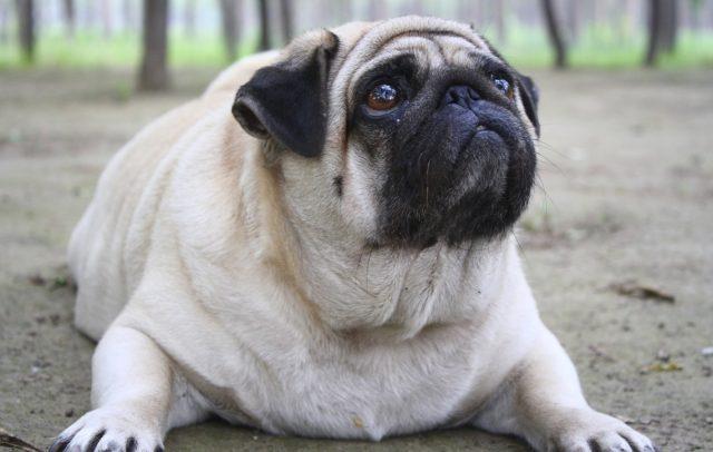 Sobrepeso perros y gatos